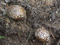 Mushrooms 5-27-16 no. 2.jpg